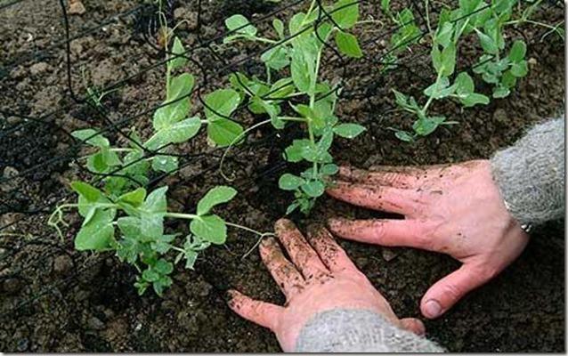 growing-peas_1642442c[1]