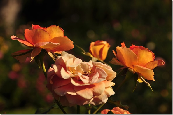A study of roses 1