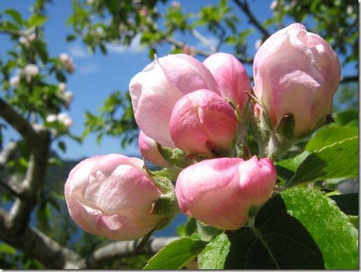 Apple Blossums - photo by Bruce Witzel
