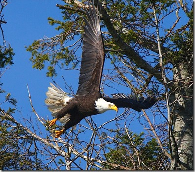 Bald eagle,near Mt. Washington, British Columbia - by Charles A.E. Brandt