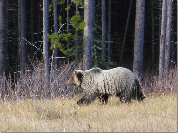 Grizzley bear in Kananaskis Country - Guenette photo
