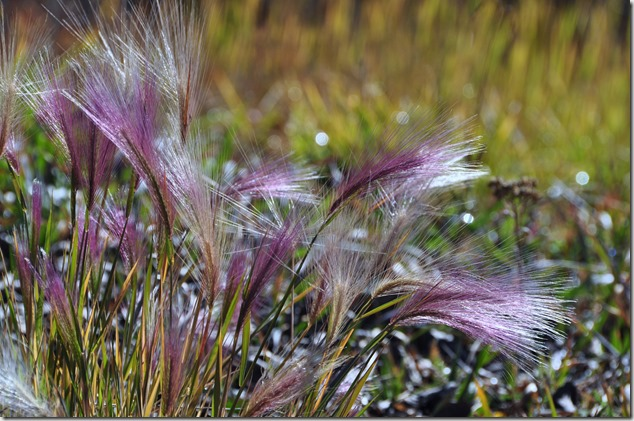 Purple Grasses - Bruce Witzel photo