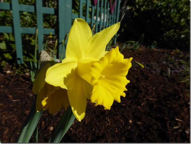 Daffodil - Guenette photo