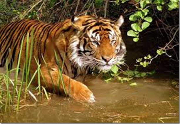 Tiger - google images