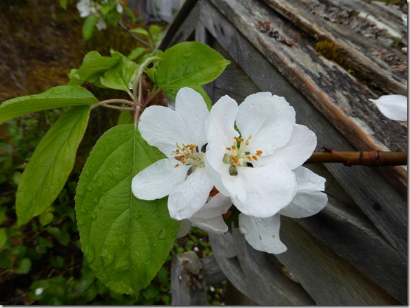 Apple Blossom Beauty - Guentte photo