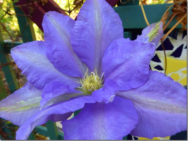 Clematis - Guentte photo