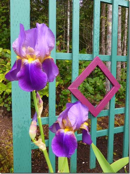 Irises - at last - Guenette photo