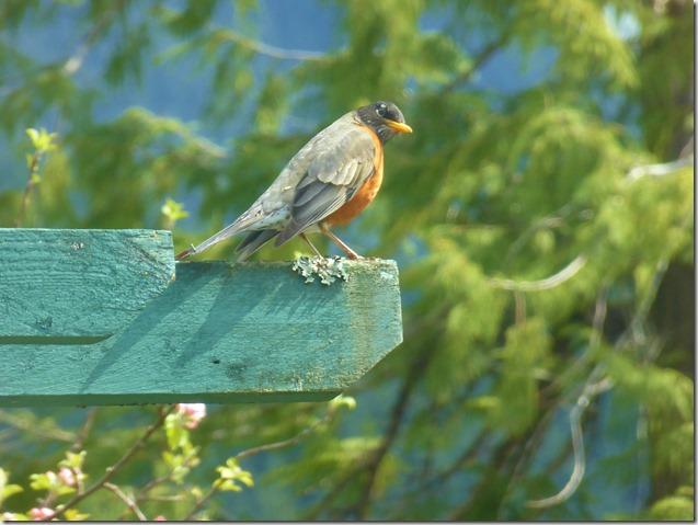 Reflective Robin - Guenette photo