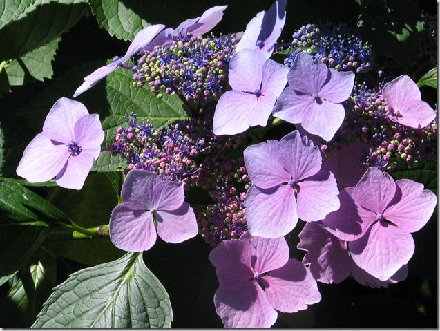 Lacy Hydrangea - Guenette photo