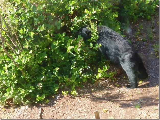 Bear in the salal - Guenette photo