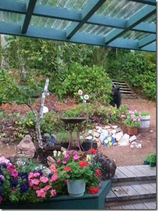 Bear outside the kitchen window - Chelsea Johnson photo