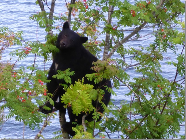 Bear in the Mountain Ash - Guenette photo
