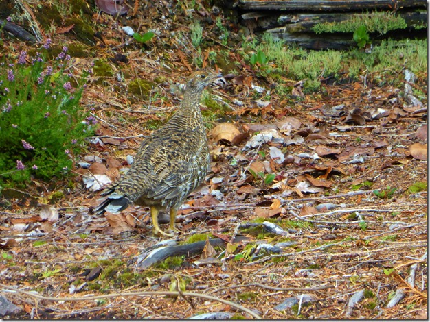 Grouse - Guenette photo