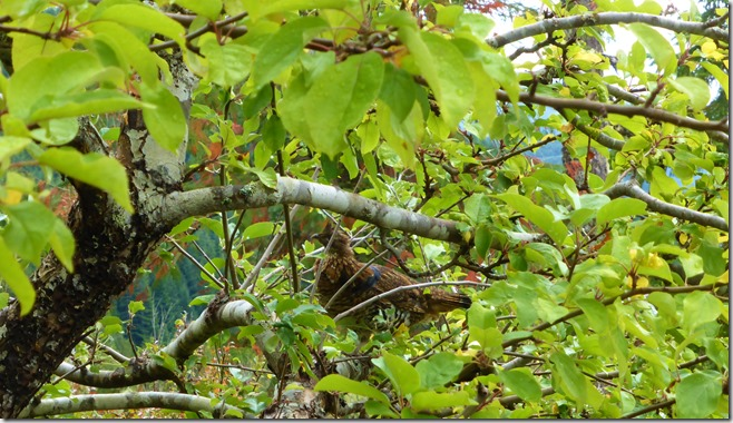 Grouse in the Apple Tree - Guenette photo