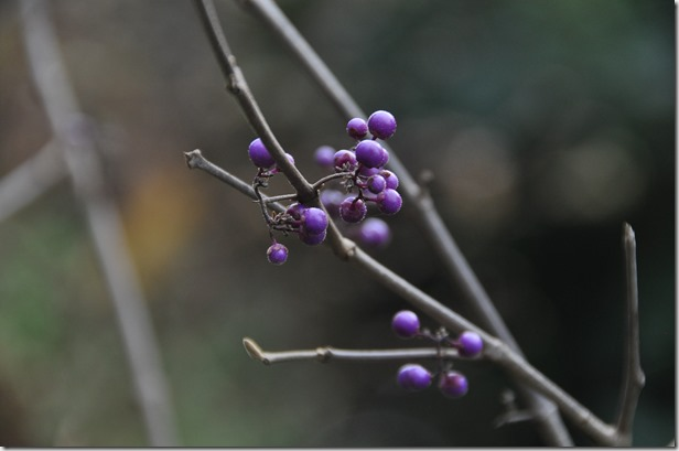 Beauty Berry - Bruce Witzel photo  (1)