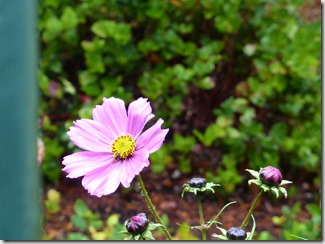 Late Cosmos - Guenette photo