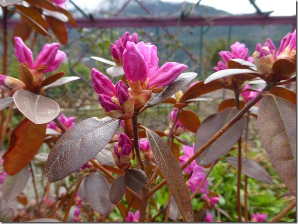First rhodo - Guenettte photo