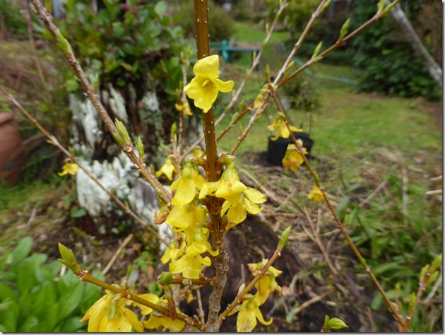 Forsythia - Guenette photo