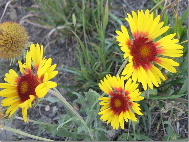 Wildflowers at Nez Perez Historic Park, Big Hole National Battlefield, Montana - bruce witzel photo
