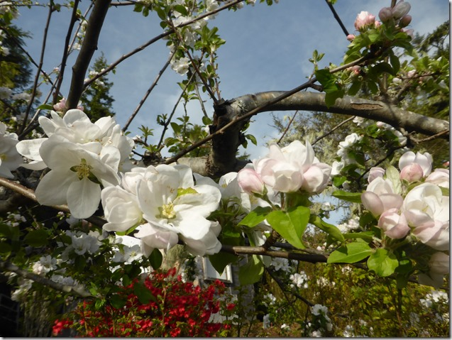 Apple Blossoms - Guenette photo
