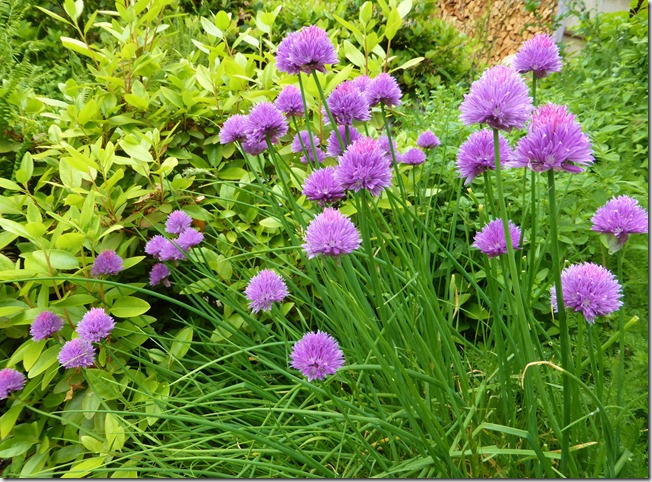Chives in bloom - Guenette photo
