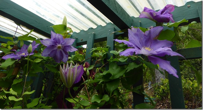 Clematis 2016 - Guenette photo