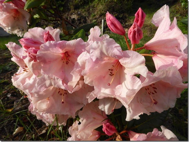 Cotton Candy Rhodo - Guenette photo