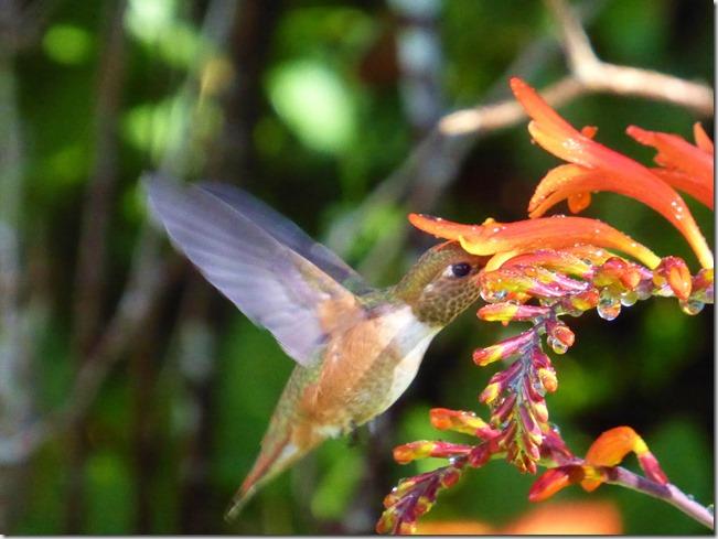Hummingbird in the Montbrecia