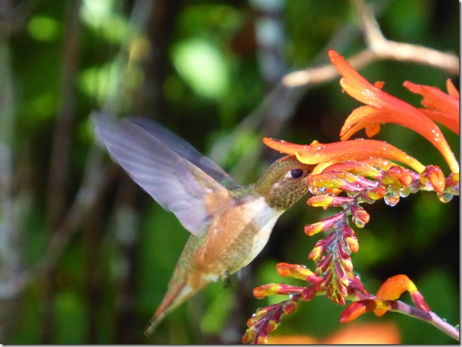 Hummingbird in the Montbrecia