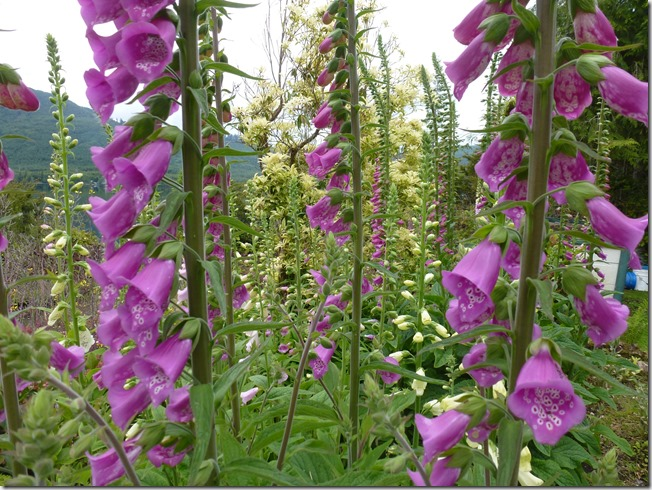 The beauty of foxglove - Francis Guenette photo