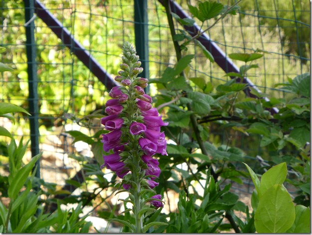 Foxglove - Guenette photo