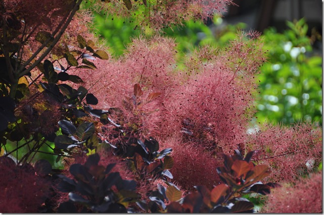 Smoke Bush 2 - Bruce Witzel photo