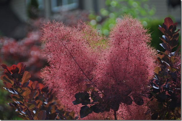 Smoke Bush - Bruce Witzel photo