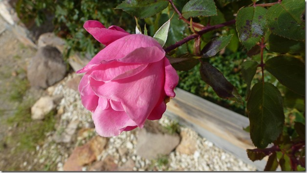 Rose bud at Silver Terrace Cemetery