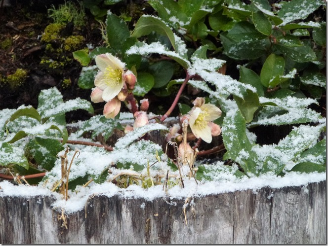 Snowy Feb Hellebore