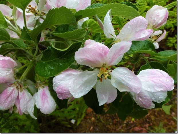 Apple blossom in the rain