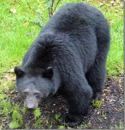 Bear 2017 - A