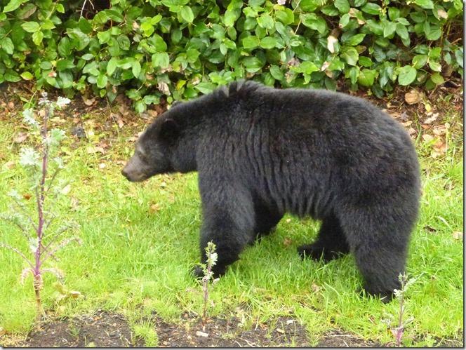 Bear 2017 B