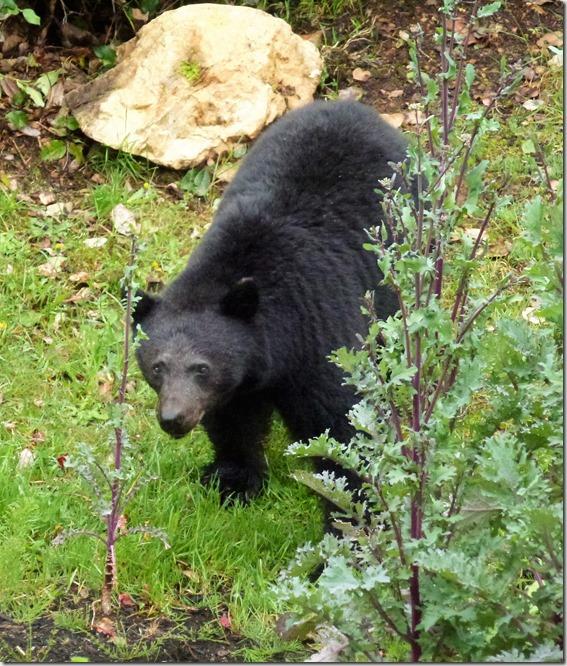 Bear 2017 C