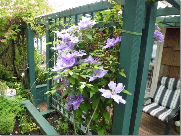 Clematis in full bloom