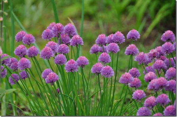Garden Chives - Bruce Witzel photo