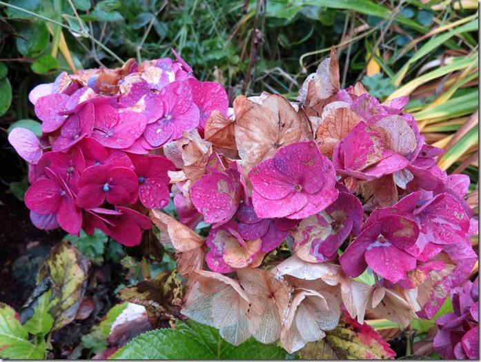 Fall flowers 13 - Hydrangea