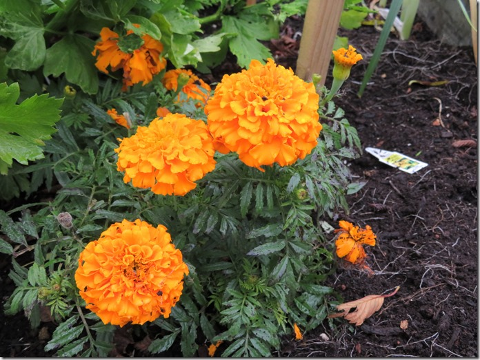 Fall flowers 17 - Marigolds