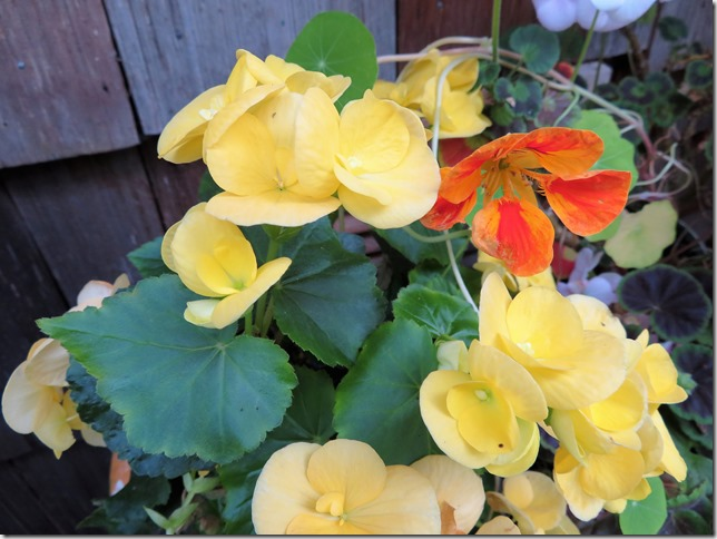 Fall flowers 2 - Begonias and Nasturtiums
