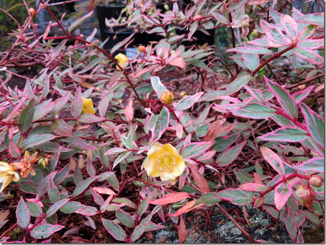 Fall flowers 9 - Tri-colour Hypericum