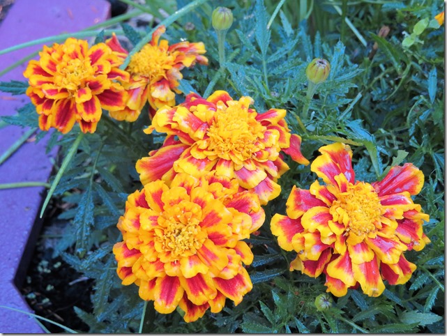 Marigold magic