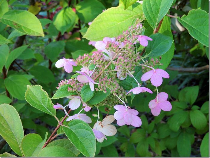 Pink Hydreangea