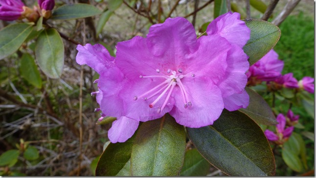 First rhodo bloom - Guenette photo