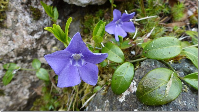 Periwinkle - Guenette photo